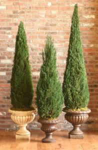 Preserved Cone Topiary 72 inch in Juniper Foliage